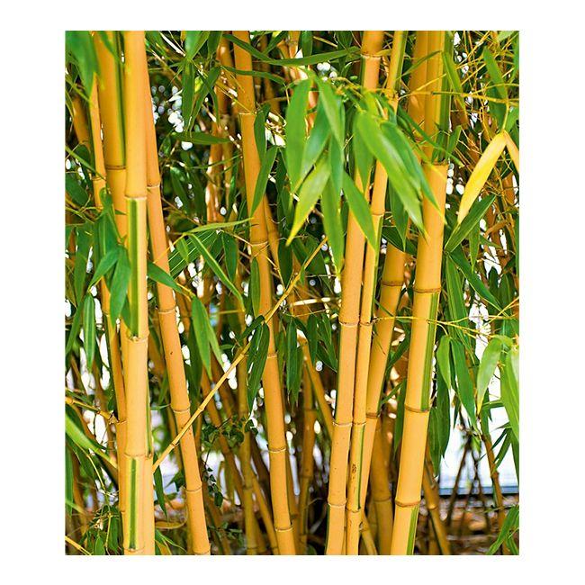 bambus f r ihren garten gartenxxl magazin. Black Bedroom Furniture Sets. Home Design Ideas