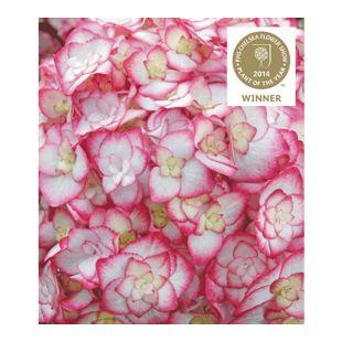 "Hydrangea ""Miss Saori®"" Hortensien Hydrangea macrophylla, 1 Pflanze"