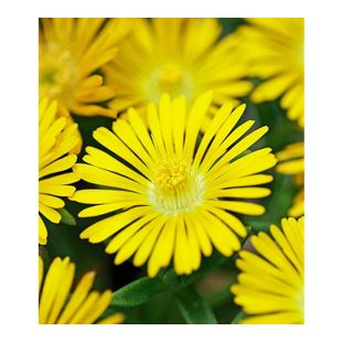 "Winterharte Eisblume ""Golden Wonder"";3 Pflanzen, Delosperma congesta"