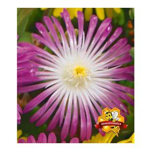 """Winterharte Eisblume """"Violett Wonder"""";3 Pflanzen, Delosperma congesta"""