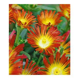 "Winterharte Eisblume ""Fire Wonder"";3 Pflanzen, Delosperma congesta"