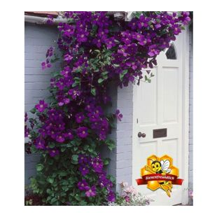 Clematis The President® Kletterpflanze, 1 Pflanze winterhart