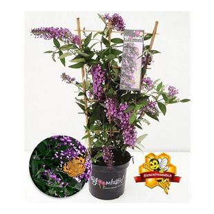"Kletternde Buddleia ""Schmetterlingswand®"",1 Pflanze Sommerflieder Kletterpflanze Buddleja Hybride"