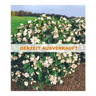 """Duft-Magnolien-Hecke """"Fairy"""",1 Pflanze Michelia """"Fairy Magnolia®"""" Heckenpflanze"""