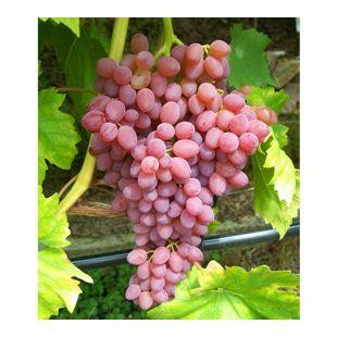 "Kernlose Tafeltraube ""Kischmisch rosé"",1 Pflanze"