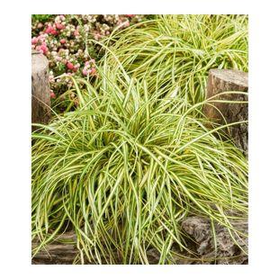 """Carex """"Evergold"""",3 Pflanzen"""