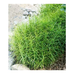 """Carex """"Little Midge"""",3 Pflanzen"""