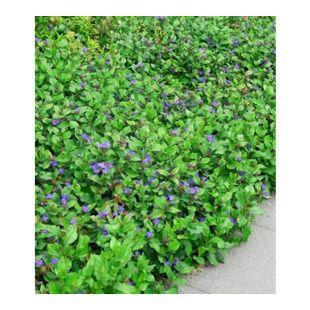 Bodendecker Ceratostigma plumbaginoides,3 Pflanzen