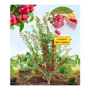 """Mini-Apfel """"Appletini®"""",1 Pflanze"""