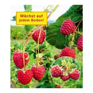 "Häberli® Himbeere ""Polesie®"",2 Pflanzen"