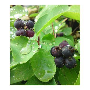 "Saskatoon-Beere ""Greatberry® Garden"",1 Pflanze"