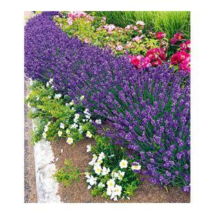 """Lavendel """"Blue Jeans"""",3 Pflanzen"""