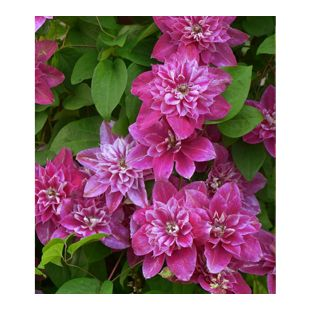 """Clematis """"My Darling"""",1 Pflanze"""