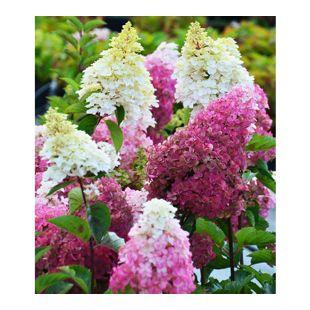 """Freiland-Hortensie """"Fraise Melba®"""",1 Pflanze"""