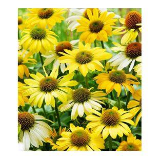 "Echinacea ""Mellow Yellow®"",3 Knollen"