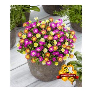 """Winterharte Eisblumen """"Summer Mix"""",3 Pflanzen"""