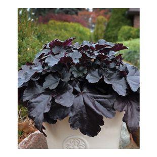 "Heuchera ""Black Pearl"",1 Pflanze"