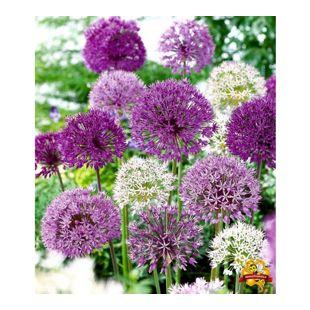 Zierlauch Allium-Mix 'Big Head', 12 Zwiebeln