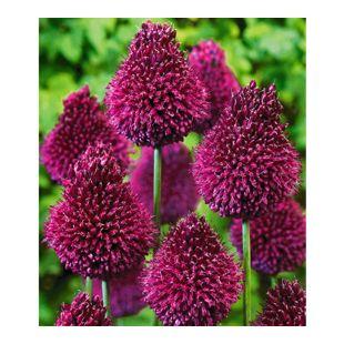 Zierlauch Allium 'Roter Zuckerhut', 25 Zwiebeln