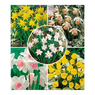 Mini-Narzissen Prachtmischung, 35 Zwiebeln Zwergnarzissen Narcissus