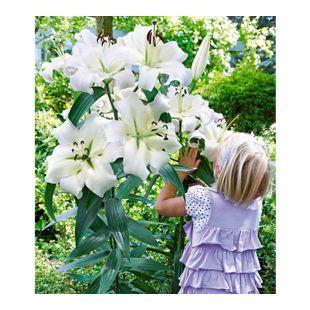 Tree-Lily Pretty Woman 3 Stück Baumlilien Lilium