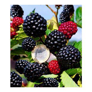 """Zuckerbrombeere """"Asterina®"""" 1 Pflanze Rubus fruticosus"""