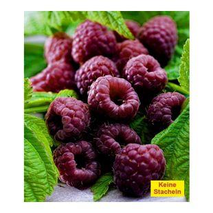 "Schwarze Himbeere ""Glenn Coe"" 1 Pflanze Rubus idaeus"