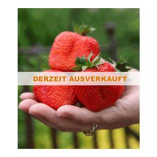 Erdbeere 'Sweet Mary XXL®', 3 Pflanzen Fragaria