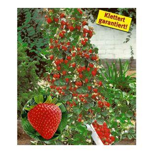 Kletter-Erdbeere 'Hummi®', 3 Pflanzen Fragaria