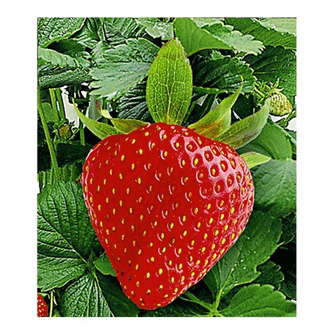 Fabelhaft Kletter-Erdbeere 'Hummi®', 3 Pflanzen Fragaria online kaufen #MC_45