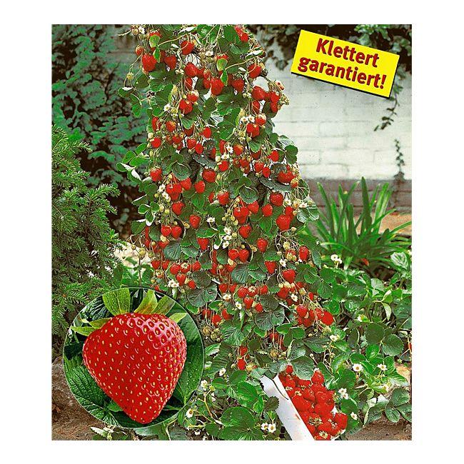 Beliebt Bevorzugt Kletter-Erdbeere 'Hummi®', 3 Pflanzen Fragaria online kaufen #WK_94