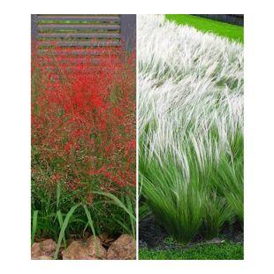 Ziergras-Kollektion, 6 Pflanzen 3 Pflanzen Rotes Liebesgras und 3 Pflanzen Federgras (Stipa)