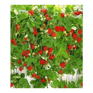 "Hänge-Erdbeere ""Hummi®"",3 Pflanzen"
