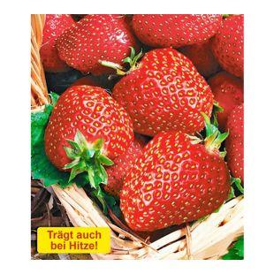 Erdbeere 'Seascape®', 6 Pflanzen Fragaria