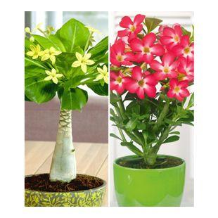 Zimmerpflanzen-Kollektion, 2 Pflanzen Hawaii-Palme + Wüstenrose Rot