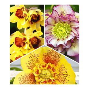 Winterblüher-Kollektion;3 Pflanzen  je 1 Pflanze Winterblüte, Christrose Double Ellen Picotée und Christrose Hantay