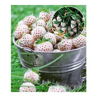 Weiße Ananas-Erdbeere 'Natural White®', 3 Pflanzen & 1 Pflanze Senga Sengana, Fragaria