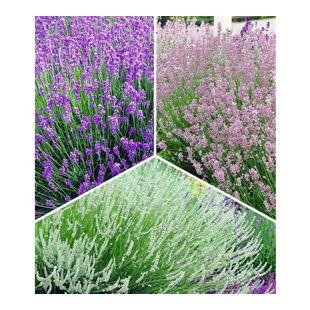 Winterharte Stauden Lavendel-Sortiment blau, rosa, weiß, 9 Pflanzen Lavandula
