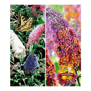 Sommerflieder-Sortiment Buddleia 'Papillion Tricolor' und 'Flower-Power®, 2 Pflanzen Buddleja