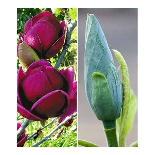 Magnolien-Sortiment, 2 Pflanzen Magnolia