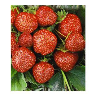 Erdbeere Hummi®´s® 'Sengana Selektion', 6 Pflanzen Fragaria