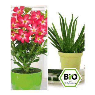 Aloe vera & Wüstenrose rot, 2 Pflanzen