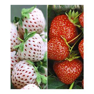 Erdbeeren-Raritäten-Kollektion 'Sengana Selektion & 'Natural White®',  9 Pflanzen Fragaria