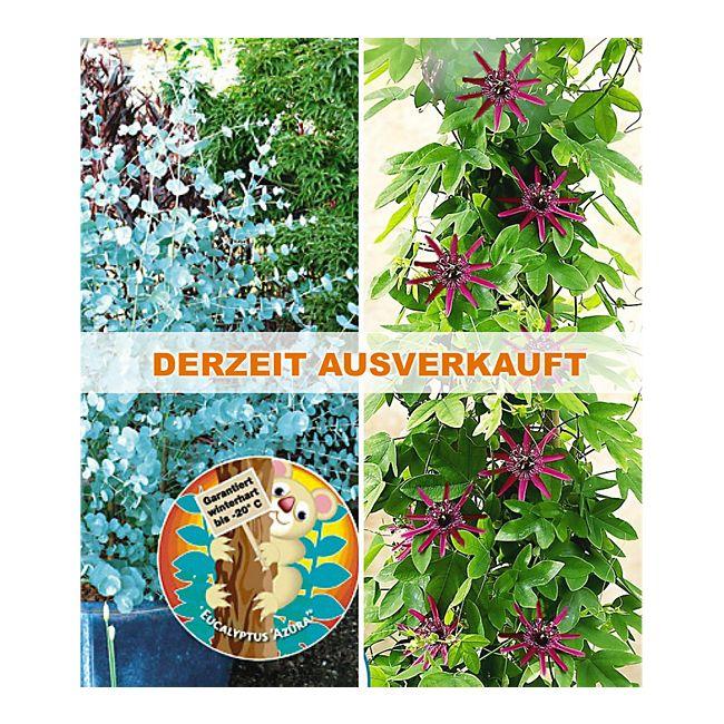 Winterharter Eukalyptus & Winterharte Passionsblume, 2 Pflanzen