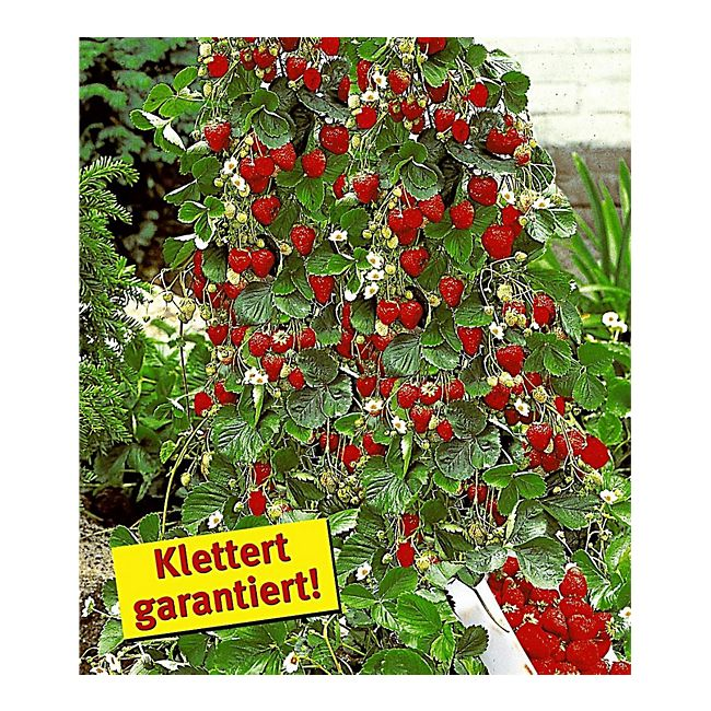 Berühmt Kletter-Erdbeere 'Hummi®' und Dekorativer Rankturm;1 Set online &MP_54