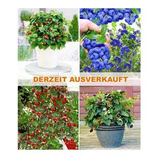 Beerenzwerge für Balkon & Terrasse (6 Pflanzen)
