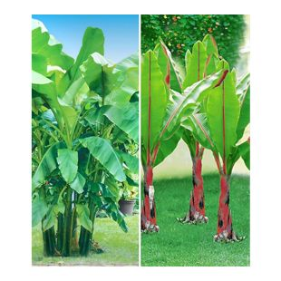 Winterharte-Bananen-Kollektion,2 Pflanzen