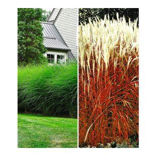 Hohe Ziergräser-Kollektion,4 Pflanzen