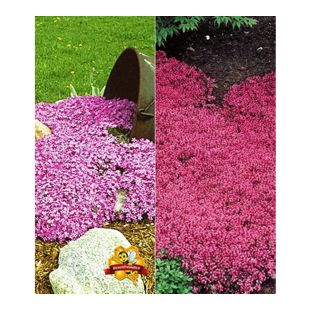 Bodendecker-Kollektion rosa und rot 6 Pflanzen Phlox und Thymian