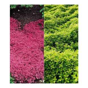 Bodendecker Thymian-Kollektion rot und grün 6 Pflanzen winterhart